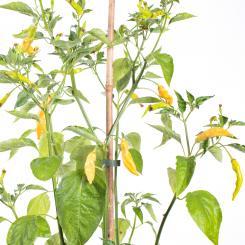 Aji Melocoton Chilli Seeds