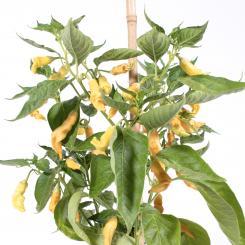 Fragrant Bellini Chilliseeds