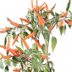 Goat´s Weed Orange Chilliseeds