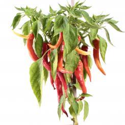 Omnivec Chilisamen