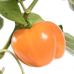 Oranje Blok Chilisamen