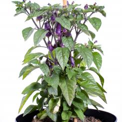 Trinidad Purple Coffee Chilisamen