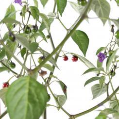 USDA Cardenasii Chilisamen