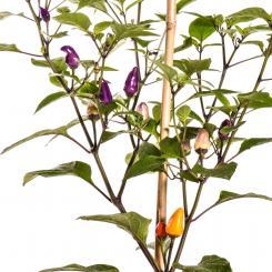 Abbreviatum Chilli Seeds