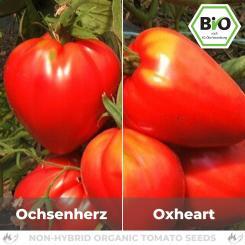 Organic Oxheart Tomato Seed (Beef Tomato)