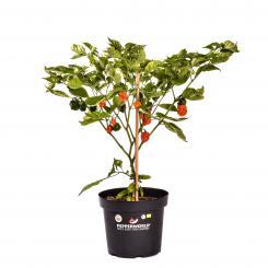 Carolina Reaper Organic Chilli Plant