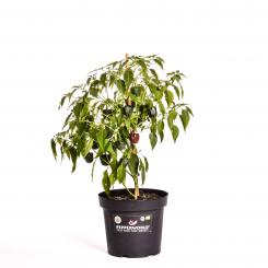 Chilhuacle Negro Organic Chilli Plant