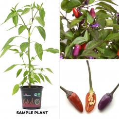 Explosive Ember BIO Chilipflanze