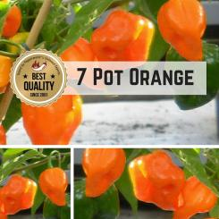7 Pot Orange / Seven Pot Orange Chilli seeds