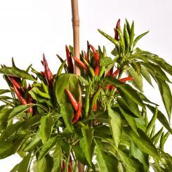 Takanotsume Organic Chilli Seeds