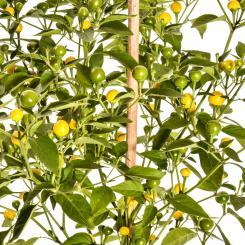 Gelbe Kirsche Chilisamen