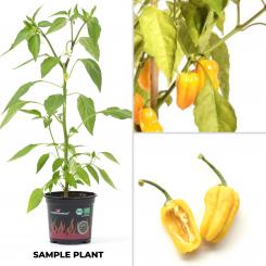 Habanero Tangerine Bell BIO Chilipflanze