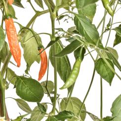 Hot Orange Chilli Seeds
