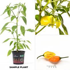 Jamy BIO Chilipflanze