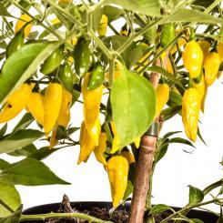 Limon Chilisamen