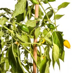 Limoncello Chilli Seeds