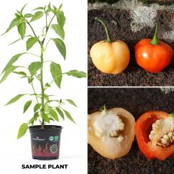 Peppa peach Organic Chilli Plant