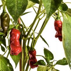 Peter Pepper Red Chilisamen