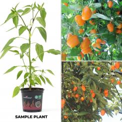 Rocoto Machu Picchu Amarillo BIO Chilipflanze