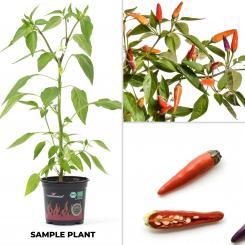 Sangria BIO Chilipflanze