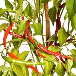 Santaka Chilisamen