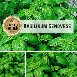 Basil Genovese seeds