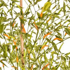Thai Orange Hot Chilli Seeds