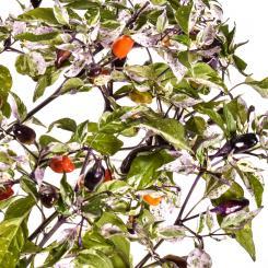 Trifetti/Variegata Chilisamen