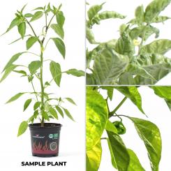 Trinidad Scorpion Green BIO Chilipflanze