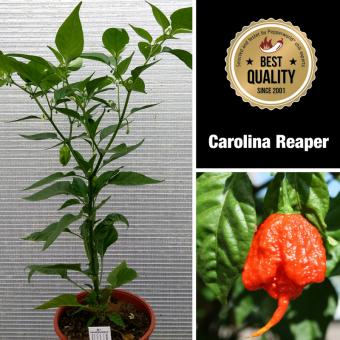 Carolina Reaper Mega BIO-Chilipflanze