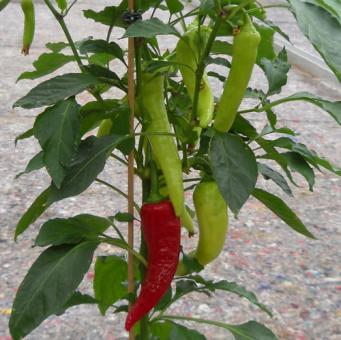 Hungarian Wax Chilisamen