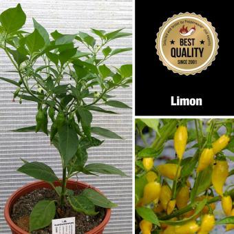 Limon Mega BIO-Chilipflanze
