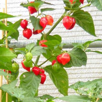 Habanero Red (Mexico) Chilisamen