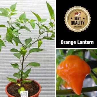 Orange Lantern Mega BIO-Chilipflanze