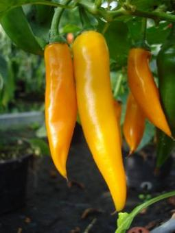 Bulgarian Carrot Chilisamen