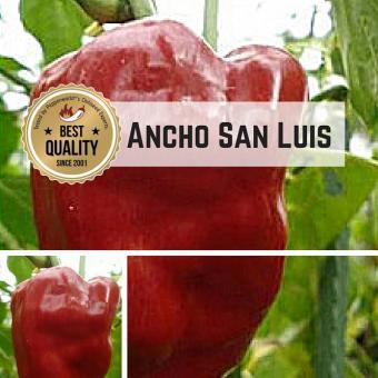 Ancho San Luis Chilli plant