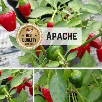 Apache Chilipflanze