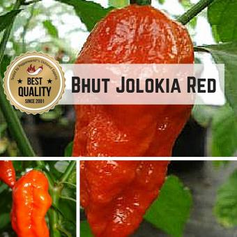 Naga/Bhut Jolokia Red BIO Chilipflanze