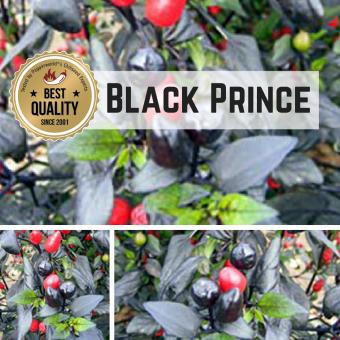 Black Prince Chilipflanze