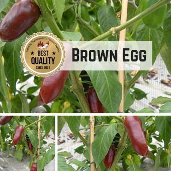 Brown Egg Chilipflanze