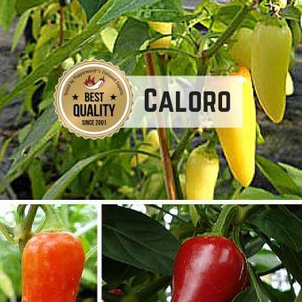 Caloro Chilipflanze