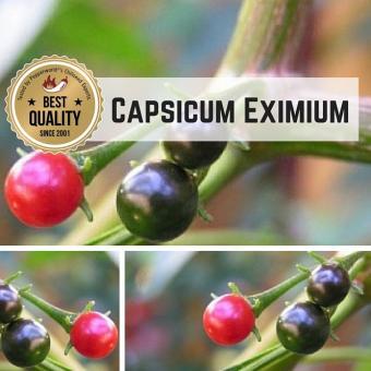 Capsicum Eximium Chilipflanze