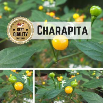 Charapita Orange BIO Chilipflanze