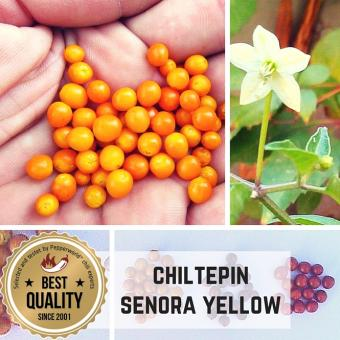 Chiltepin Sonora Yellow Chilipflanze