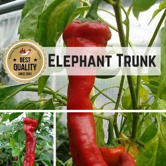 Elephant Trunk Chilipflanze