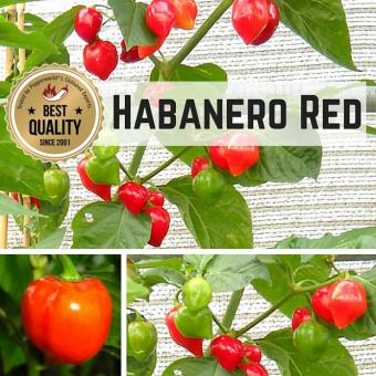 Habanero Red (Mexico) BIO Chilipflanze