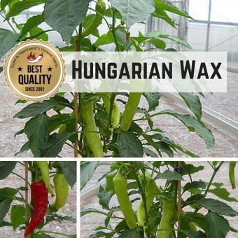 Hungarian Wax Chilipflanze