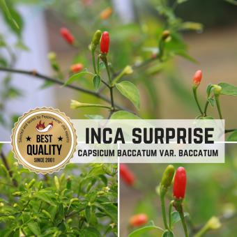 Inca Surprise Chilisamen