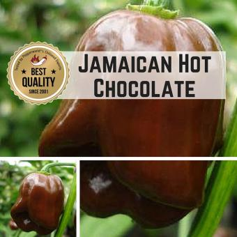 Jamaican Hot Chocolate Chilli plant