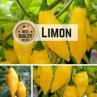 Limon Chili BIO Chilipflanze